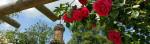 Rosenpergola auf dem Kienberg mit blühenden Wildrosen vor dem Friedrichsturm