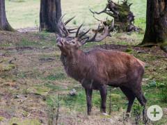 Röhrender Hirsch im Wildgehege im Christophstal